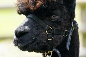 Geronimo is an eight year-old alpaca who has twice tested positive for bovine tuberculosis